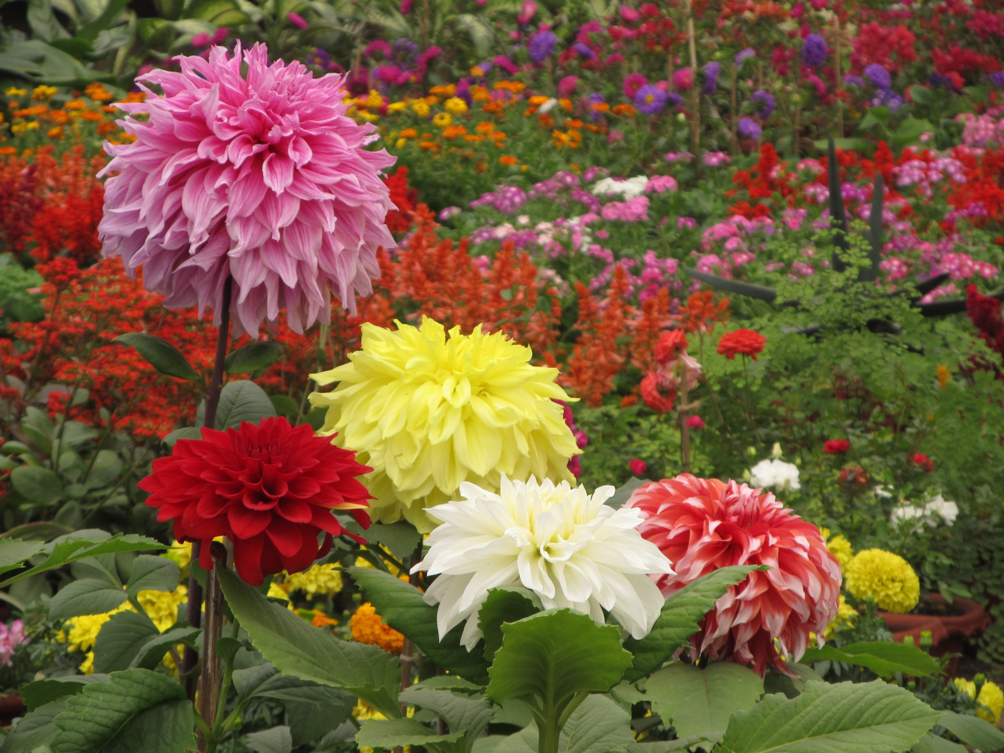 Image result for dahlia garden