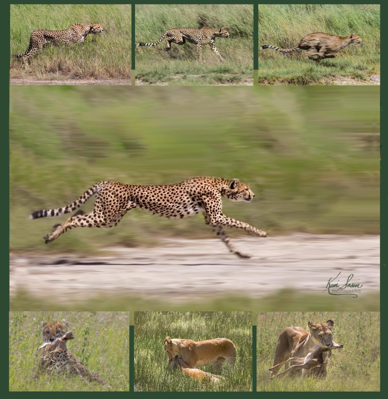 CheetahandLioness_KimSosin