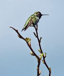 Hummingbird_2_